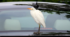 """Show me the Carfax."" (Shannon Rose O'Shea) Tags: white bird feet nature car canon flickr florida wildlife beak feathers 7d waterfowl sanibelisland egret cattleegret skinnylegs jndingdarlingnationalwildliferefuge birdyfeet canoneos7d canon100400mm14556lis chevycruze shannonroseoshea wwwflickrcomphotosshannonroseoshea shannonosheawildlifephotography shannonoshea"