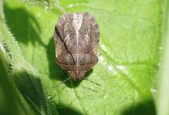 Eurygaster maura - 02 IV 2016 (el.gritche) Tags: france 40 maura heteroptera scutelleridae eurygaster eurygastermaura