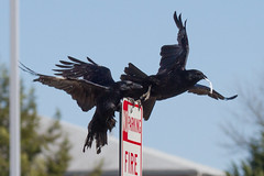 Crows-4-3-2016-1 (Scott Alan McClurg) Tags: life winter wild blackandwhite black cold color nature fly flying wildlife flight dive aves claw talon american crow flapping flap americancrow naturephotography passeriformes corvus corvidae neornithes neoaves passeri neognathae corvoidea cbrachyrhynchos