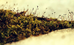 The universe below us (aquigabo!) Tags: park winter snow plant cold detail macro green texture ice nature contrast canon landscape eos rebel frozen moss woods focus dof close zoom montreal depthoffield vegetal 700d t5i