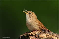 House Wren Serenade (sunnyf16) Tags: flickr dof feathers sing northamerica dslr serenade naturephotography housewren breedingpair inexplore lakecountyil nikonprime sunnyf16 dailynaturetnc11 robertvisconti followmeontwittercloserlookwldlf