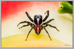 Frigga pratensis (J. Amorin) Tags: arañasaltarina jumpingspider arañasaltadora amorin macro spider salticidae macuspana tabasco canon10028macro canon7d friggapratensis