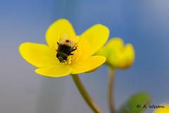 marsh-marigold (a3aanw) Tags: flower macro nature yellow nikon natuur hommel geel d800 bloem natuurmonumenten zwanenwater marshmarigold 105mm dotterbloem