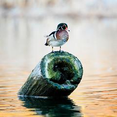 Wood duck on a log (h3172010) Tags: toronto canada highpark