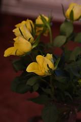 DSC_0800 (PeaTJay) Tags: flowers roses plants macro nature rose gardens fauna reading flora sigma indoors micro closeups berkshire rosebuds lowerearley nikond750