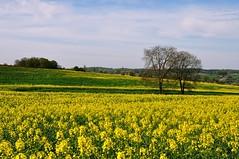 Le jaune est mis (Excalibur67) Tags: flowers trees yellow fleurs jaune landscape spring nikon contemporary sigma arbres paysage printemps frhling d90 1770f284dcoshsmc