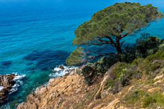 The Old Stone Pine (Stef Kocyla) Tags: sea st stone pine mediterranean tropez var