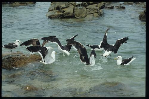 Gulls fighting for scraps,