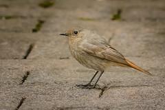 Hausrotschwanz (Bluespete) Tags: bird germany nikon outdoor psi fc vogel birdphotography hausrotschwanz singvogel rotschwanz d7100 vogelfotografie petersieling 6322425 32143153 bluespete