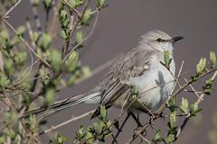Northern Mockingbird (J.B. Churchill) Tags: birds us unitedstates maryland places northernmockingbird nomo allegany flintstone taxonomy mimids rockygapsp