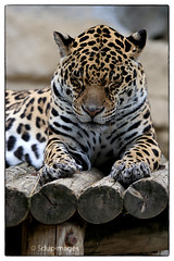 Lo. (sdupimages) Tags: animal zoo feline leopard animaux tamron panther flin 70200f28 palmyre