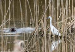 9Q6A9901 (2) (Alinbidford) Tags: lapwing cormorant buzzard greyheron littleegret redshank greatcrestedgrebe brandonmarsh alancurtis alinbidford weepingwillowbuds