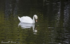 Cigne (Queralt jqmj) Tags: lake lago swan catalunya cisne cerdanya llac cigne pirineu puigcerd