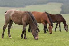 Nature at its best (markopetrovic130) Tags: horses mountain spring d750 zlatibor 70200vrii