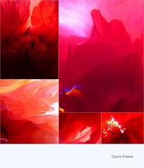 1er Mai en rouge (clairetresse) Tags: france fleurs mai nord pivoines isre