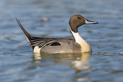 Posturing (Hockey.Lover) Tags: birds explore redwoodshores northernpintail radioroadponds
