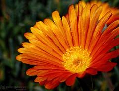 Golden Flower (gjaviergutierrezb) Tags: flowers orange flores flower macro golden flor naranja dorado oro