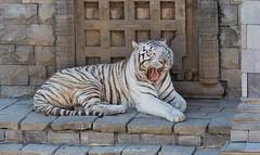 2016-04-20 - 12.08.44 - _L5B0036 (Rossell' Art) Tags: tiger tigre whitetiger tigreblanco tigreblancroyal tigreblanc pairidaiza whitebengaletiger