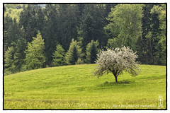 spring_tree (alamond) Tags: wood white tree green grass forest canon is spring outfit 7d l lonely usm ef lonelytree mkii markii 70300 brane llens f456 alamond zalar