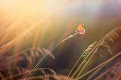 Arethusana arethusa (Psztor Andrs) Tags: light sunset summer sky sun nature field grass butterfly photography 50mm nikon hungary mood dof shallow dslr andras 18g pasztor d5100