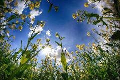 2016.04.30 Wimborne (205) (Kotatsu Neko 808) Tags: uk flowers blue england yellow bluesky fisheye dorset wimborne rapeseed pamphill samyang8mm