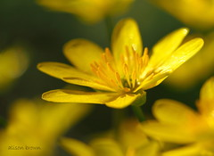 Lesser Celandine (alison brown 35) Tags: wild brown flower macro nature canon woodland lens photography spring ngc 100mm npc 7d alison 35 lesser wigan celandine
