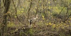 Not your typical family..... (Kevin Povenz) Tags: nature outdoors geese duck michigan wildlife ottawa goose april grandriver canadagoose 2016 westmichigan ottawacounty kevinpovenz ottawacountyparks grandravinesnorth