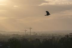 As The Crow Flies (d1g1dav3) Tags: ireland light dublin sun mist bird nikon god zoom atmosphere cranes telephoto rays dun laoghaire killiney d5200