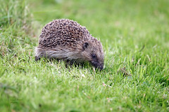 Hedgehog (Erinaceinae) (Pikingpirate1) Tags: wild animal ngc hedgehog erinaceinae