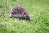 Hedgehog (Erinaceinae) (Pikingpirate1) Tags: wild animal ngc hedgehog erinaceinae