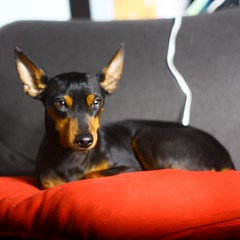 Loves (felice.sorrentino) Tags: dog pet pets dogs pinscher doglover dogslovers