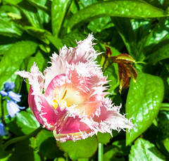 Parrot Tulip pink-white (Bjrn Ritzmann) Tags: leica pink white plant green lens parrot tulip dual grn papagei p9 tulpe summarit objektiv weis huawei