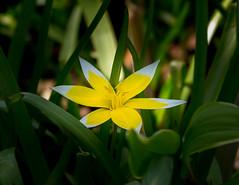 Tulip,  Star Yellow & White (vern Ri) Tags: newyork fleur spring nikon centralpark tulip d750 conservatorygarden