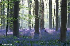 Purple Rain (borremans15) Tags: nature canon landscape spring woods belgium belgie natuur bos lente 70200 hyacinten halle hyacinth 1022 landschap hallerbos hyacint