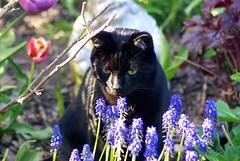 Casimir  Portrait Behind Flowers I (frankbehrens) Tags: cats tom cat chats chat gatos gato katze katzen kater
