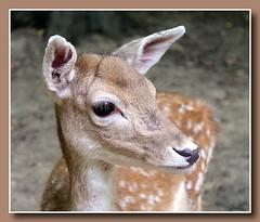 Reh (p_jp55 (Jean-Paul)) Tags: animal deer luxembourg reh luxemburg chevreuil saarlorlux bettembourg ltzebuerg mrchenpark parcmerveilleux bettemburg beetebuerg