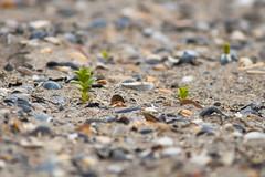 Honckenya peploid (Robin Geys) Tags: plants nikon van baai heist d90 honckenya 400mmf56ais peploid