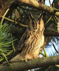 Ransuil Long-eared owl, Asio otus (Miranda Gelmers) Tags: nature netherlands pinetree pine canon forrest zoom nederland owl miranda longeared asio otus the ransuil natuurfotografie 60d vogelfotografie gelmers mirandagelmerslivenl