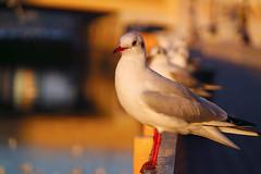 Bird on the City (sharleen.sadava) Tags: travel blue color bird love yellow catchycolors dubai wildlife uae sharjah ajman sharleenphotography