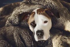 1/12 Edgar (Jutta Bauer) Tags: winter dog cozy 112 boxermix pitbullmix adoptdontshop 12monthsfordogs excellentedgar 12monthsforedgar
