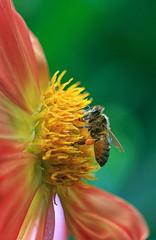 Bursting with pollen (rachelsloman) Tags: flower macro insect bee pollen