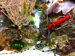 Red Fire shrimp (Heaven`s Gate (John)) Tags: pink red fish macro nature water coral closeup fire aquarium sand rocks starfish wildlife salt shrimp anemone serpent banded tipped johndalkin heavensgatejohn