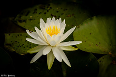 White water lily (Thad Zajdowicz) Tags: travel summer usa white plant flower color colour green nature beautiful beauty yellow closeup blackbackground digital canon garden geotagged outside eos dc washington leaf petals pond flora waterlily lily blossom outdoor floating peaceful 7d bloom botanic serene dslr vignette tranquil placid lightroom kenilworthaquaticgardens zajdowicz