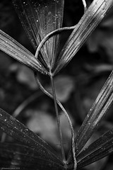 Intertwined (Ramesh Adkoli) Tags: bw closeup blackwhite capturenx wildernest d800e