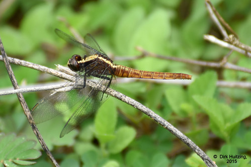 Flame-tailed Pondhawk 13387gb