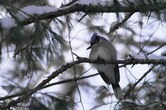 Winter Blue Jay (robertcliftonmedia) Tags: blue winter lake bird wildlife canadian bluejay algonquin corvid algonquinpark mew