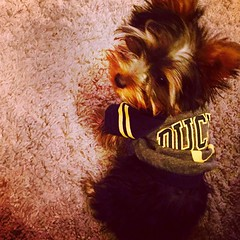 Someone loves her new hoodie! She thinks @paraduxmike did good getting it (itsayorkielife) Tags: yorkie yorkshireterrier instagram itsayorkielife