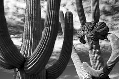 Dancing Saguaros (jswensen2012) Tags: arizona cactus clouds desert saguaronationalpark saguarocactus crestedsaguaro cristatesaguaro