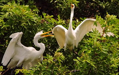 3S5X7133  Making Noise (Eileen Fonferko) Tags: nature singing wildlife nesting greategrets