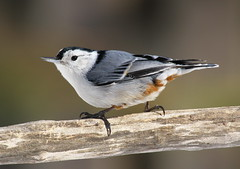 Nuthatch (Diane Marshman) Tags: winter white black bird nature birds wings breast body head pennsylvania wildlife chest tail small gray feathers pa northeast nuthatch resident whitebreasted yearround